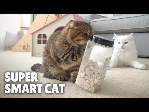 Super Smart Cat! Takes Out Treats by Itself!