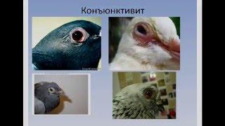 ОрниФарм Респираторные заболевания голубей. Симптомы, лечение, профилактика