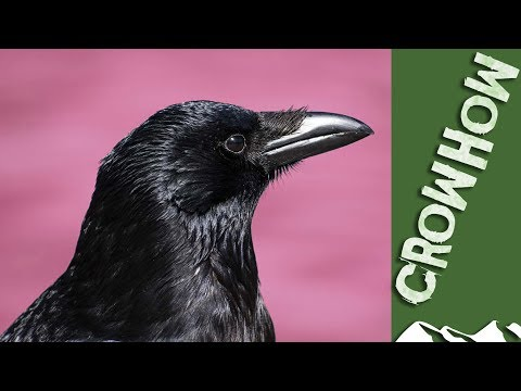 Crowhow: How To Decoy Crows