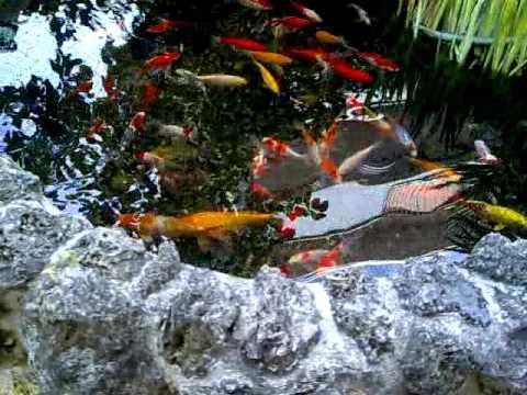 Vasca Da Esterno Pesci : Carpe koi e pesci rossi fontana pond monterotondo roma mp youtube