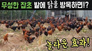 잡초 밭에 닭을 방목하면 이렇게 됩니다-귀농 방목 토종닭