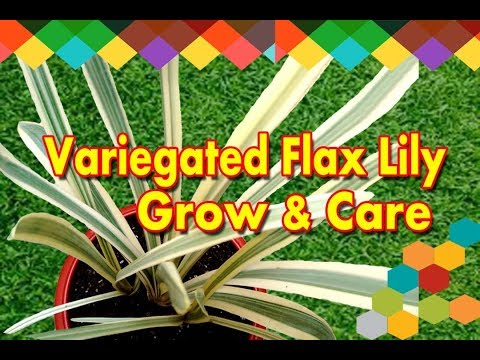 How To Grow & Care Variegated Flax Lily?