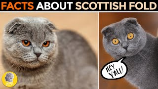 FACTS ABOUT THE SCOTTISH FOLD CAT!
