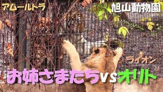 旭山動物園のライオン「オリト」と、隣りの放飼場のアムールトラ。 Shot...