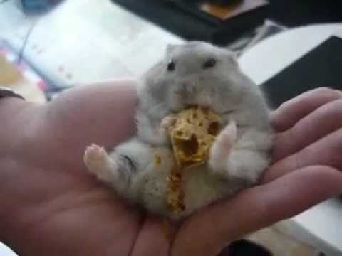 cookie cute and funny hamster eating french bread youtube. Black Bedroom Furniture Sets. Home Design Ideas