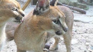 カラカル,上海動物園,Caracal,Shang Hai Zoo,China,中華人民共和国,狞猫,上海动物园