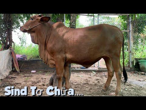 Sind Tơ chữa 5 Tháng , Sind , Brahman Tơ….