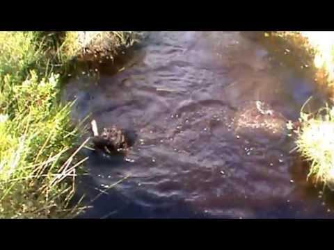 Barbet dog loves diving