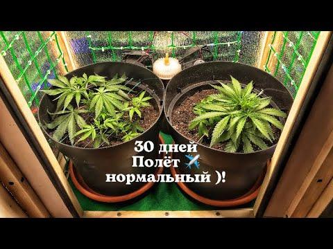 Нам 30 дней !) благодарю 🙏 за поддержу !) выращивания конопли( СТЕЛС ГРОУБОКС ) марихуана !