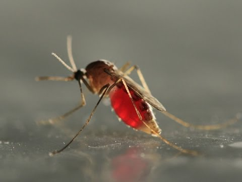 Brazil Releases 'Good' Mosquitoes To Fight Dengue Fever