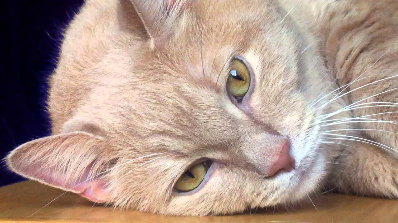 Resultado de imagen para gatos maullido