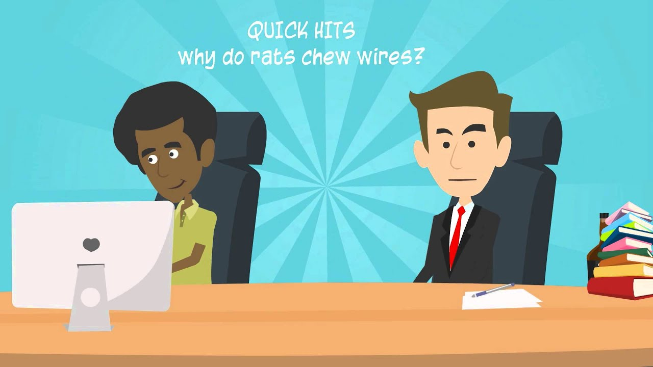 Why Do Rats Chew Wires? Quick Hits Explains - YouTube