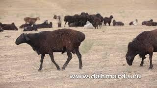 Настоящие таджикские овцы гиссарской породы и саги дахмарда, встреченые на перегоне