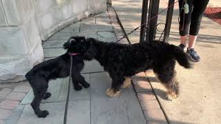 Buying a Giant Schnauzer puppy!!