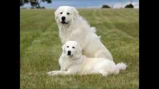 Мареммо-Абруццкая овчарка - большие белые мишки