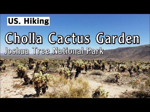 cholla-cactus-garden-(joshua-tree-national-park)_-조슈아-트리