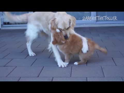 Toller Puppy Meets Golden Retriever | Archie The Toller
