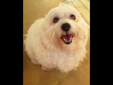 Crazy Happy Smiling Maltese Dog Enjoying A Soothing & Rough Massage
