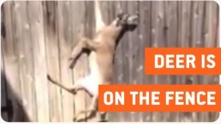 Deer Rescued From Fence | Bambi Is Saved