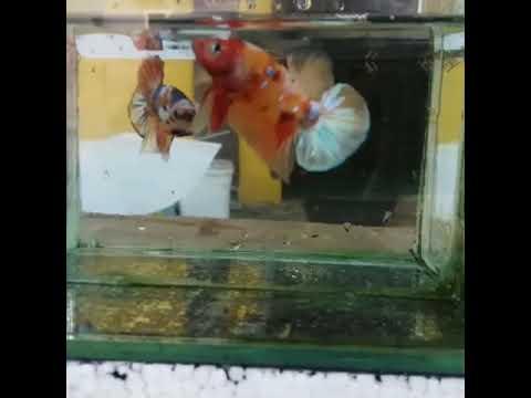 Ikan Cupang Nemo Youtube