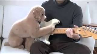 A poodle helps play the guitar.