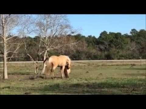 Mini Horse Being Protected from Stallion...