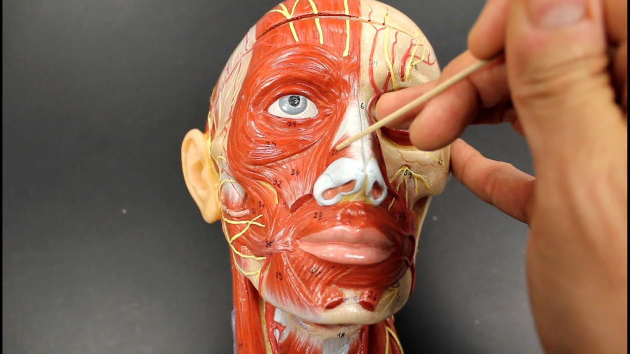 Muscular System Anatomymuscles Of Facial Expression Model
