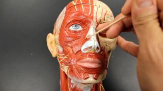 MUSCULAR SYSTEM ANATOMY:Muscles of facial expression model description