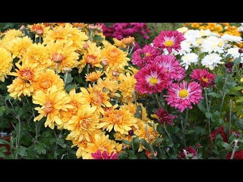 Хризантемы в октябре  Корейские хризантемы надежные и прекрасные!
