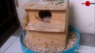 Ternak Lovebird di kandang kapsul/bulat