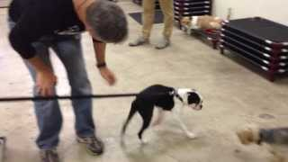 Bustifer, The Boston Terrier Crazy Goofball, Got Some Training!