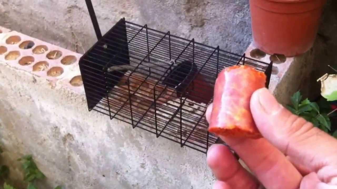 Jaula trampa para ratas youtube - Trampas de ratones ...