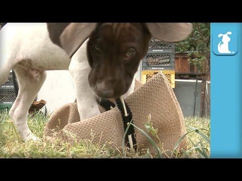 German Shorthair Pointer Puppies Destroy Cowboy Hat – Puppy Love