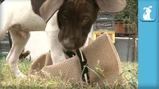 German Shorthair Pointer Puppies Destroy Cowboy Hat  Puppy Love
