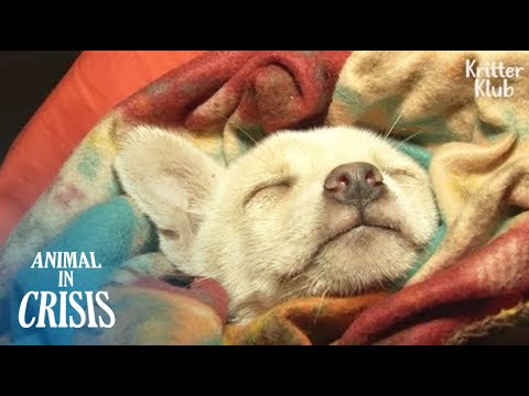 What Happened To A Poor Puppy Falling Into A Deep Sleep For The 1st Time? | Animal in Crisis EP112