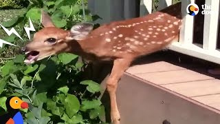 Crying Fawn Rescued From Family's Porch | The Dodo