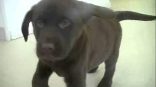 American Puppy Club Labrador Retriever 9wks