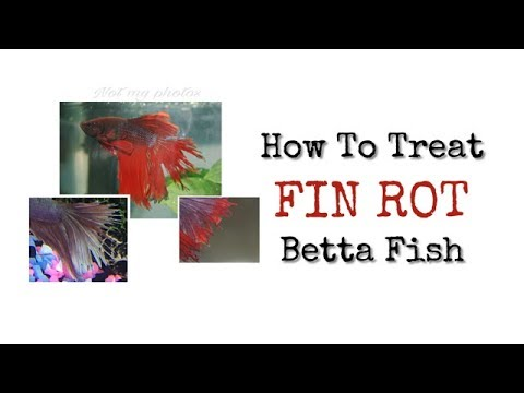 How To Treat FIN ROT || Betta Fish