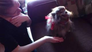Pomeranian Dog Gives High Five