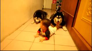 Cute Husky Dogs Crawling  HQ