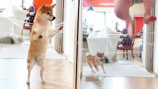 My Shiba Dogs Reaction To The Invisible Challenge