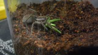 Awesome Wolf Spider Vs Katydid Feeding