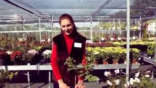 Як правильно посадити саджанці малини? Компанія «Інтерфлора»(Компанія «Інтерфлора Україна» створена у 1998 році. За дуже малий період часу компанія завоювала суттєву..., 2014-12-09T13:13:45.000Z)