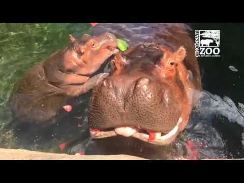 Baby Hippo Fiona and Parents Get Watermelon Treat - Cincinnati Zoo