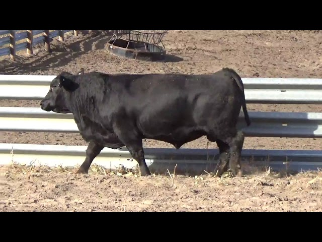 Connealy Angus Lot 243
