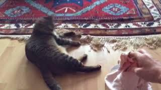 Кража вещей! Кот ворует вещи и носит в зубах