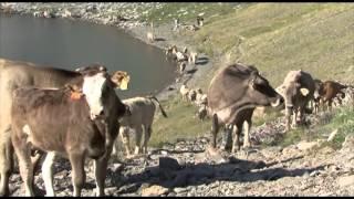 Transhumance des vaches aragonaises par le col de la Bernatoire
