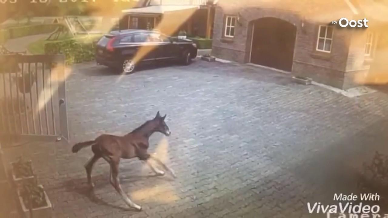 Kleurplaten En Zo Manege.Springpaard In De Dop Jong Veulen Maakt Sprong Van 1 20 Meter Uit Stalraam