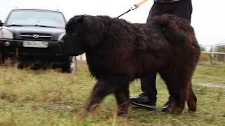 Тибетский мастиф Барри 9 мес - реакция на волка Радогощ