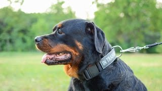 Rottweiler In Safe & Comfy Nylon Identification Dog Collar